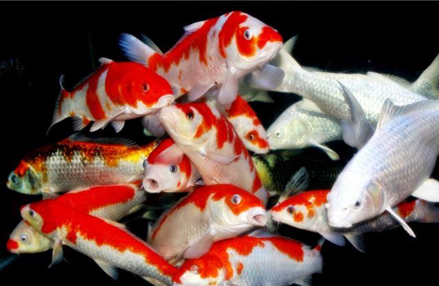 Membeli Ikan Koi yang bagus