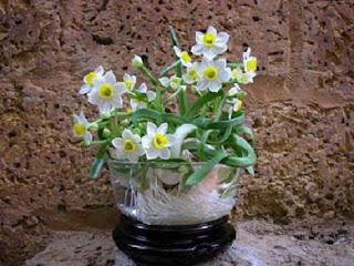 Hoa thủy tiên - cây xanh cải thiện tia bức xạ trong văn phòng