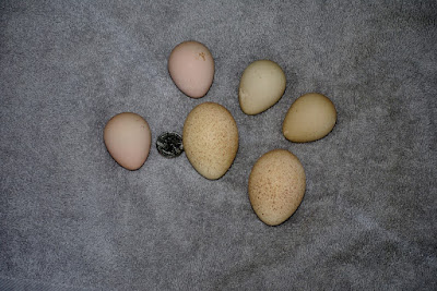wild turkey eggs, guinea hen eggs