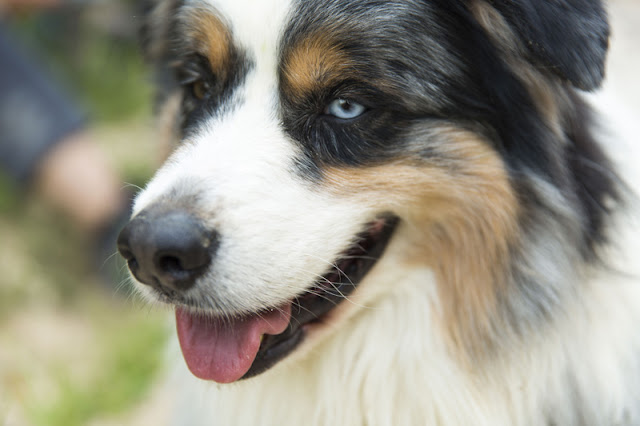 Why canine science is better than common sense. Photo shows Australian Shepherd
