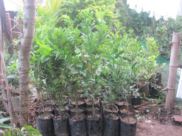 Fruit trees for sale lemon seedling for sale for Fruit trees for sale