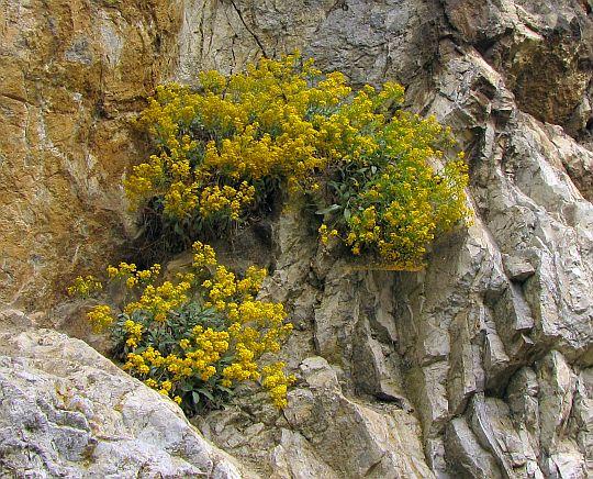 Smagliczka skalna (Alyssum saxatile).