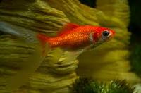 jenis ikan koki Comet goldfish cantik ikan hias