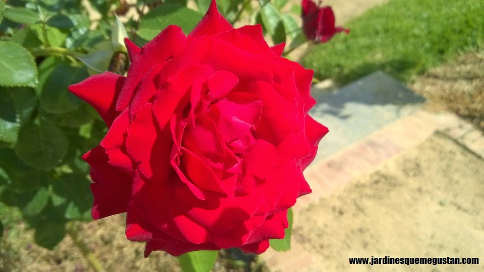 planta, rosal de flor roja