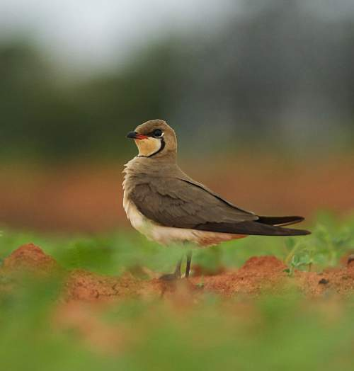 Birds of India - Photo of Oriental pratincole - Glareola maldivarum