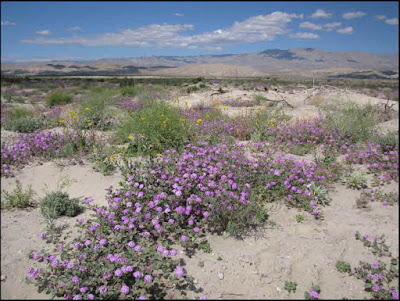 California, CA, Coachella Valley Preserve, dunes, sand verbena, pink purple flowers, wildflowers