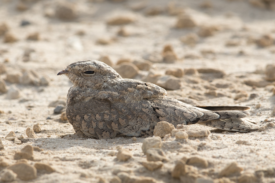 Egyptian NightjarEgyptian Nightjar