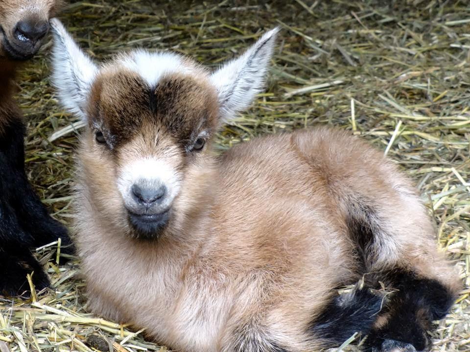 Goats For Sale - Nigerian Dwarf Goats | Pittsburgh Pennsylvania