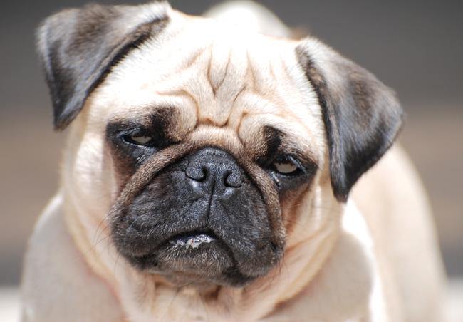 Ciepły i suchy, czy mokry i wilgotny nos psa?