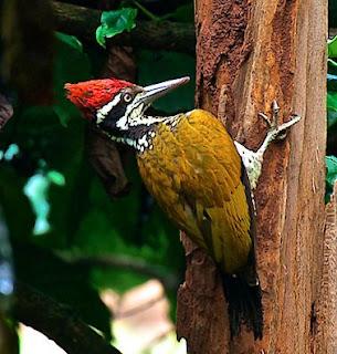 Suara Burung Pelatuk Bawang
