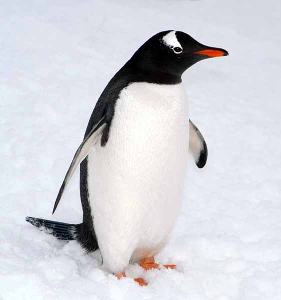 penguin animal wildlife penguins pretty much found bird antarctica pet gentoo types think