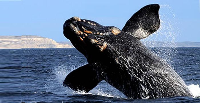 Salto de ballena en un Avistaje de Ballenas, una realidad cotidiana en Puerto Pirámides