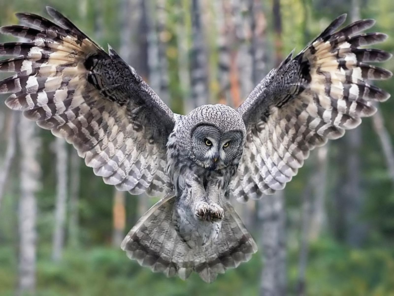Gambar Burung Hantu Cantik Menawan  GambarBinatangCom