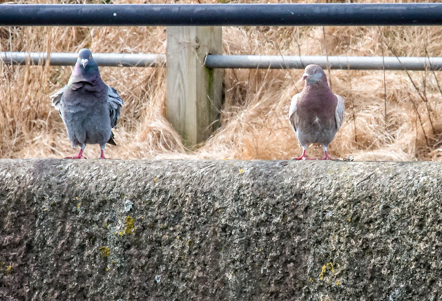 Photo of the marina pigeons getting their feathers ruffled by the wind