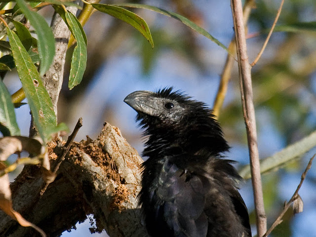 Close up of the bill of a Groove-billed Ani