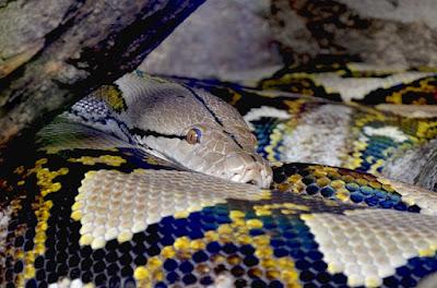 jenis reptile Mandarin Ratsnakes