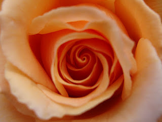 Heart of Peach Colored Rose, Photo (c) 2011 by Maja Trochimczyk