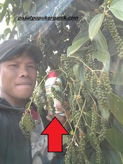 Cara mengatasi hama tanaman lada