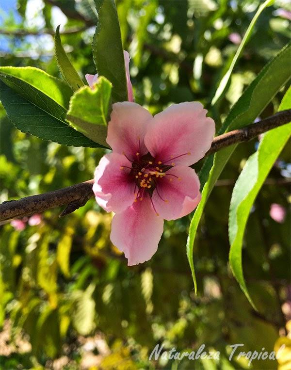 La flor del Almendro, género Prunus