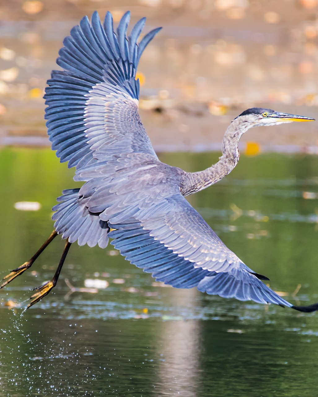 A heron's amazing lift off.