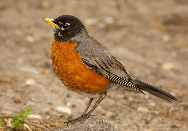 American Robin - Central Park, New York