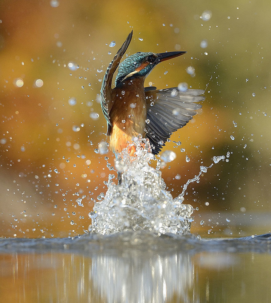 the perfect kingfisher out of the water