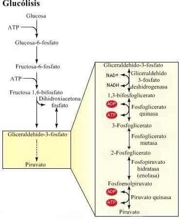 Fisiología: definición, antecedentes históricos, trabajo interdisciplinario y áreas de estudio