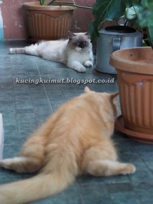 kucing jantan betina kawin