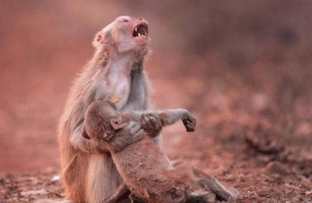 Foto de macaca 'chorando' ao socorrer filhote inconsciente  comove  internautas