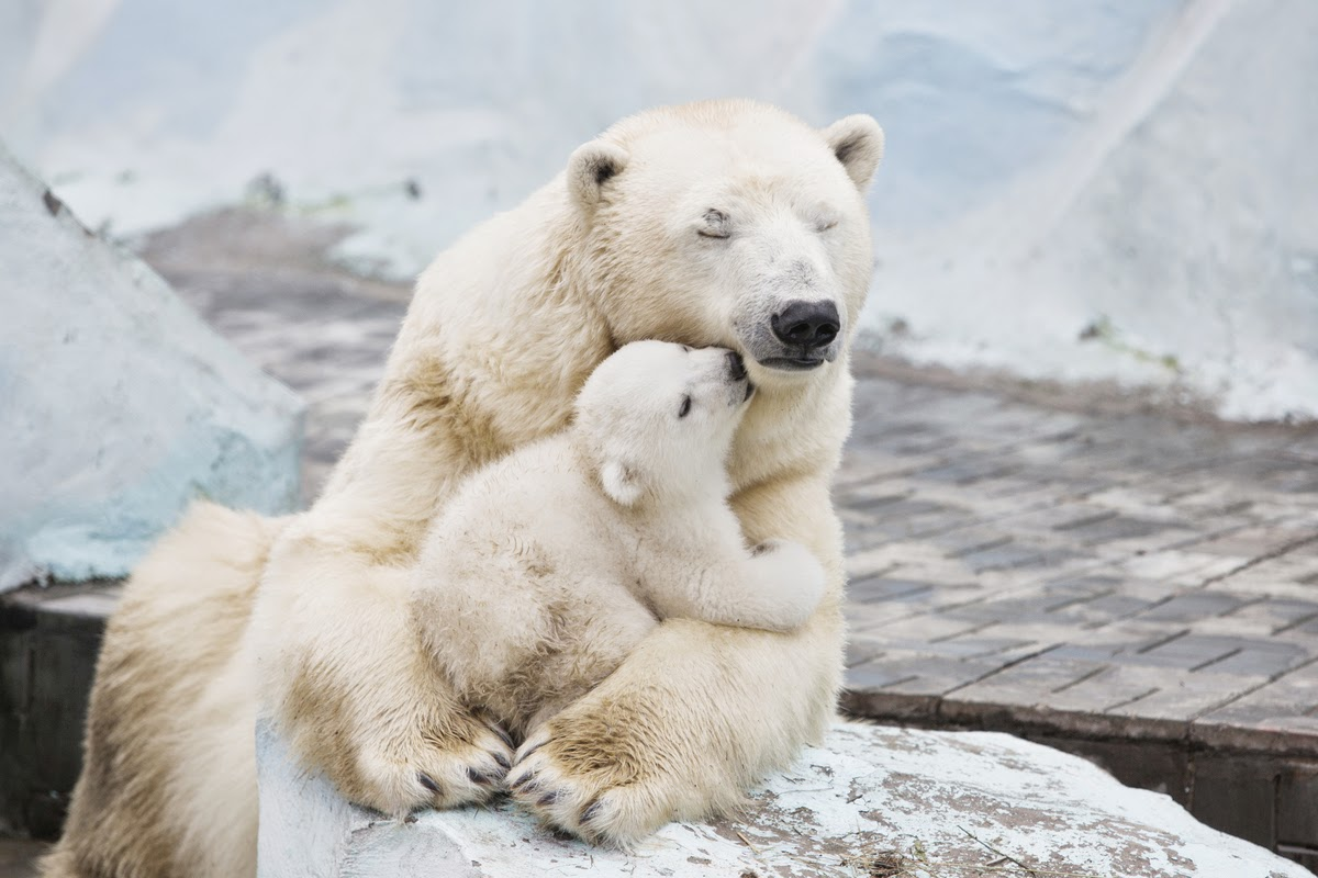 Polar Bear Cub Nestled With Mother Will Fill Your Heart