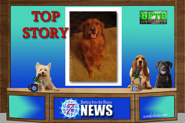 BFTB NETWoof News Top Story of Romeo the Golden Retriever