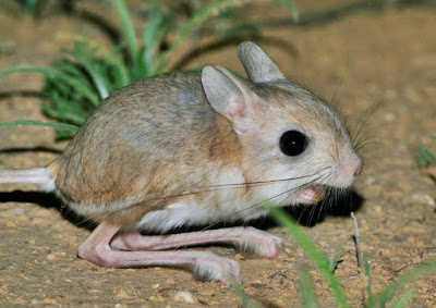 Jerboa - animal name starting with alphabet j