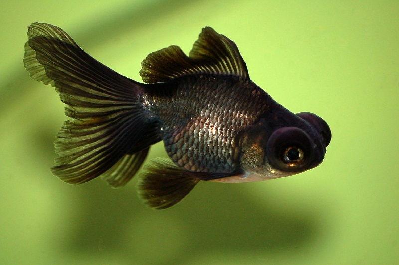 Cara Budidaya Ikan Koki Mata Telaskop Inilah Rahasianya