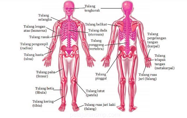 Materi Sistem Gerak Pada Manusia, Rangka, Tulang, Sendi, Otot, dan Permasalahan Tulang IPA SMP Lengkap
