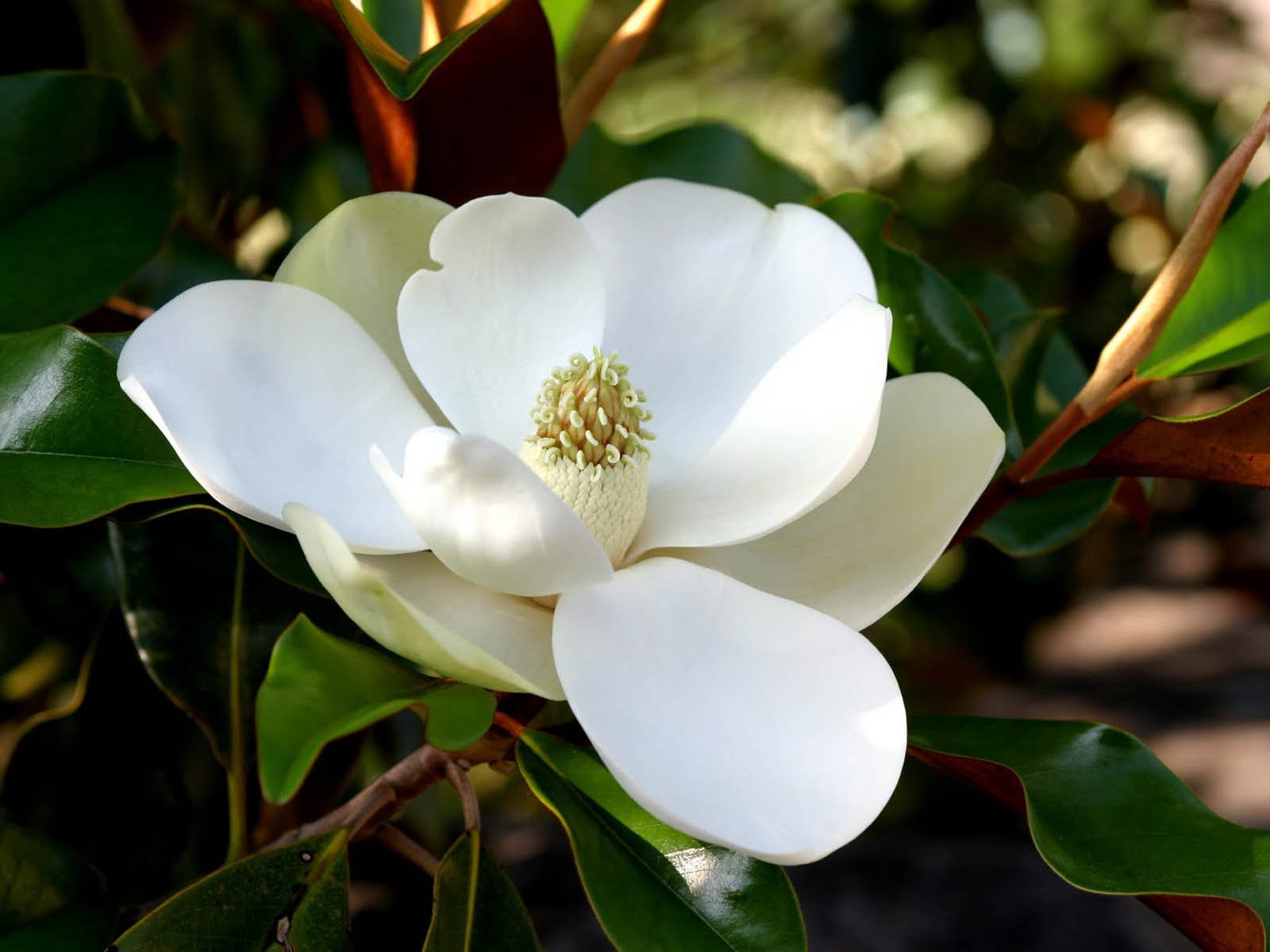 wallpaper: Southern Magnolia Flower Wallpapers