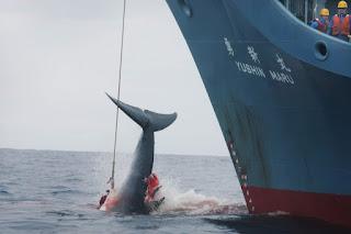 japan whaling, whaling, japan