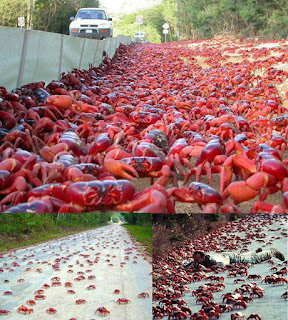 The Astonishing Annual Red Crab Migration