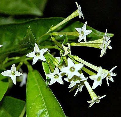 Night Blooming Jasmine, Night Flowering Jasmine – रात की रानी – [Raat Ki Rani]  IMAGES, GIF, ANIMATED GIF, WALLPAPER, STICKER FOR WHATSAPP & FACEBOOK