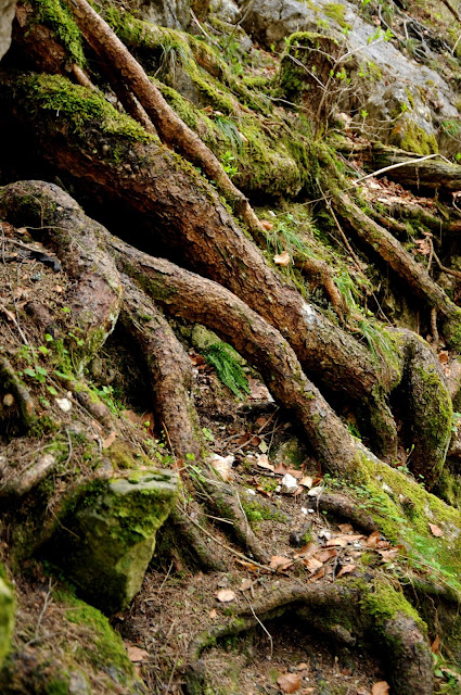 Tree Roots In Craggy Mountainside