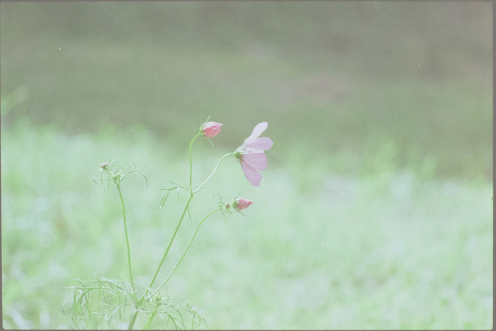 colour film - cosmos flowers