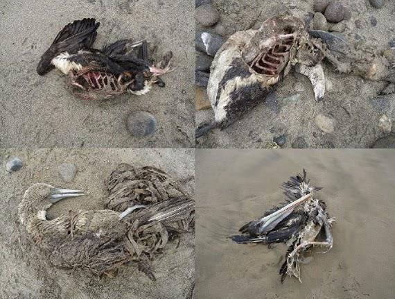 Bangkai2 haiwan terdampar di pantai Chile