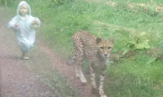 Photo of little girl chasing after a cheetah