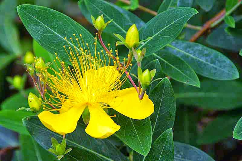 St. John's Wort, flowers,leaves