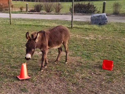 miniature donkey with traffic cones
