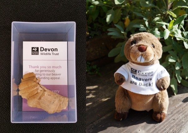 Adopt-a-Beaver scheme to help raise funds for the River Otter Beaver Trial