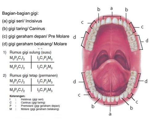 Sistem pencernaan, Mulut, Kerongkongan, dan Lambung