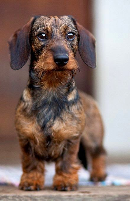 Wirehaired Wire Haired Dachshund Doxie