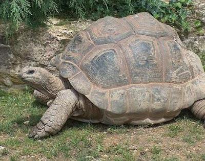 Gambar Kura-Kura Raksasa Aldabra