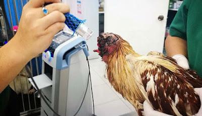 Pemberian makan kepada ayam tanpa kepala