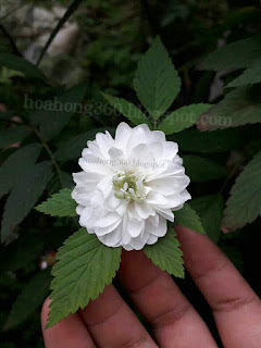 hoa hồng tầm xuân băc